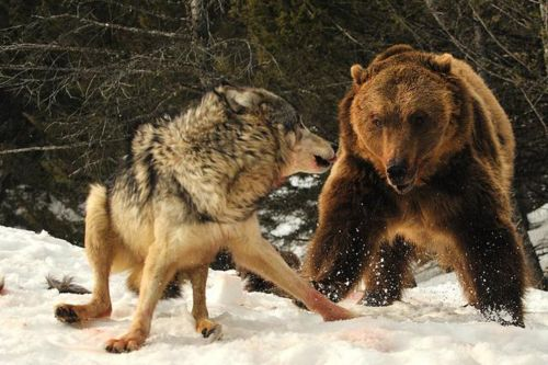 bear attacking wolf 2017