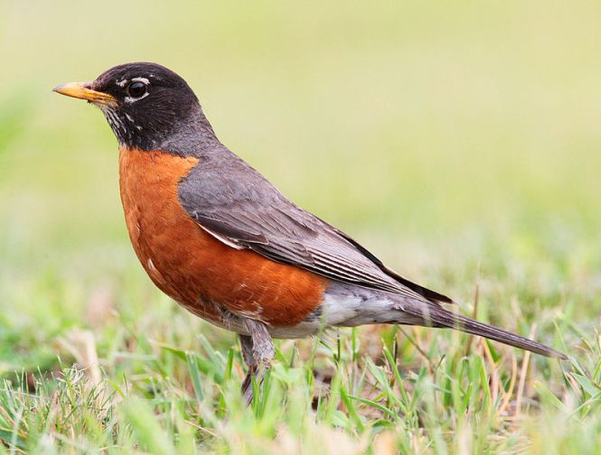 Male robin bird 2018
