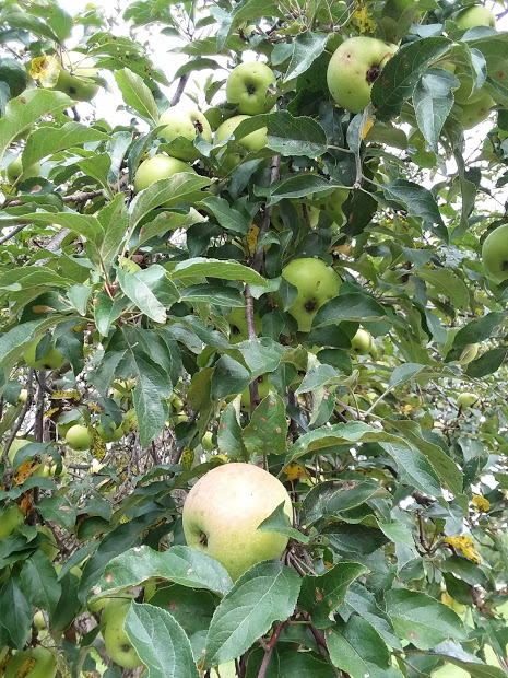 Nature walk apple trees 2018 2