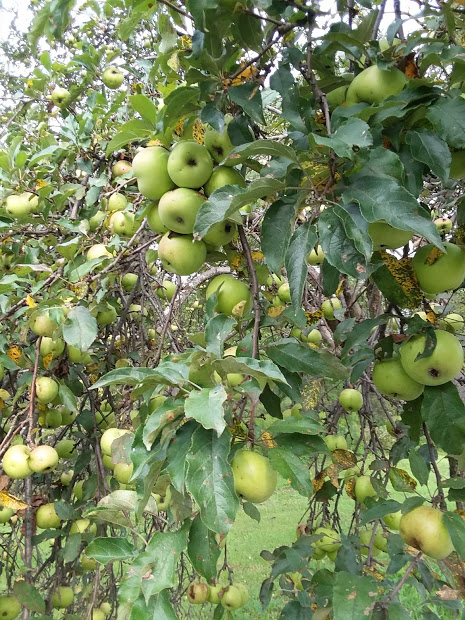 Nature walk apple trees 2018