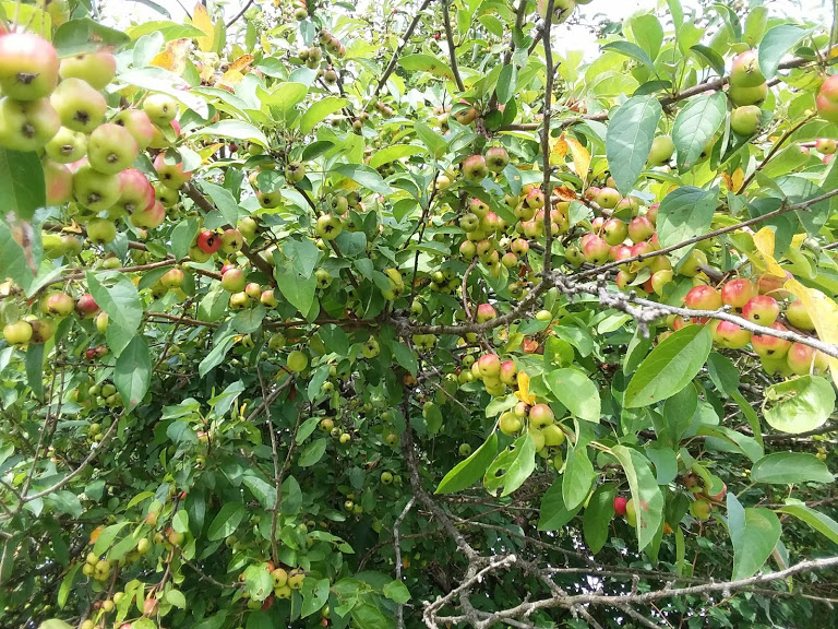 our crab apple trees 3-16-19