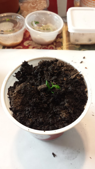lemon seed planted in soil