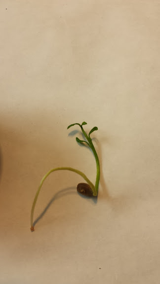 lemon seed sprouting 3