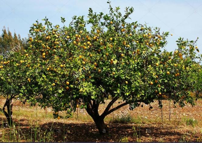 lemon tree planted in soil outside